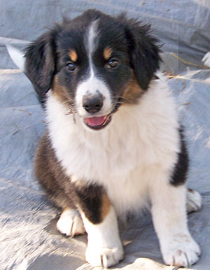 English Shepherd Puppies For Sale In Seguin Tx