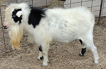 Nigerian Dwarf Mininubian Goats At Grailquest Farms In Seguin Tx