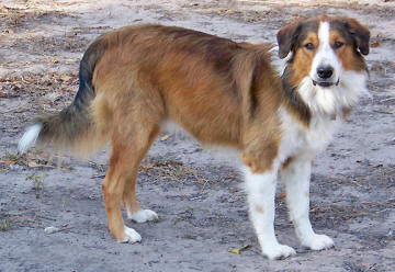 United kennel club english shepherd club registry sam s pedigree pdf